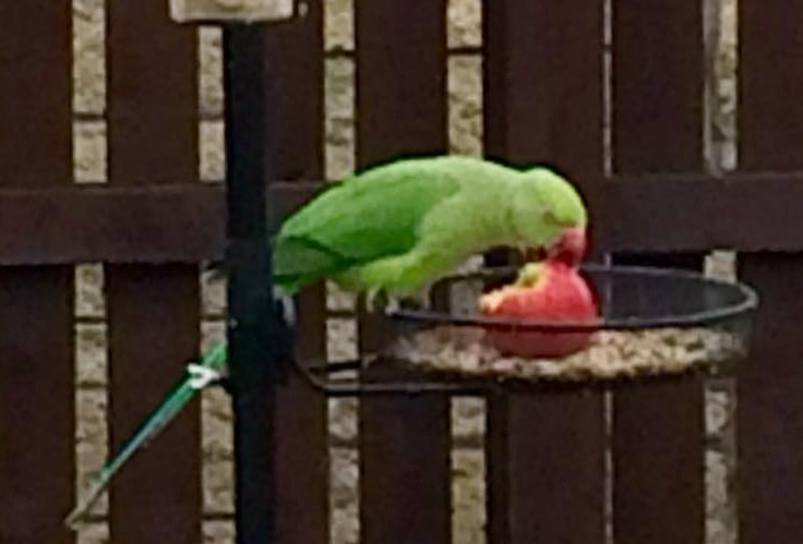 """""""Pete"""" the parakeet has been on the loose since December"""