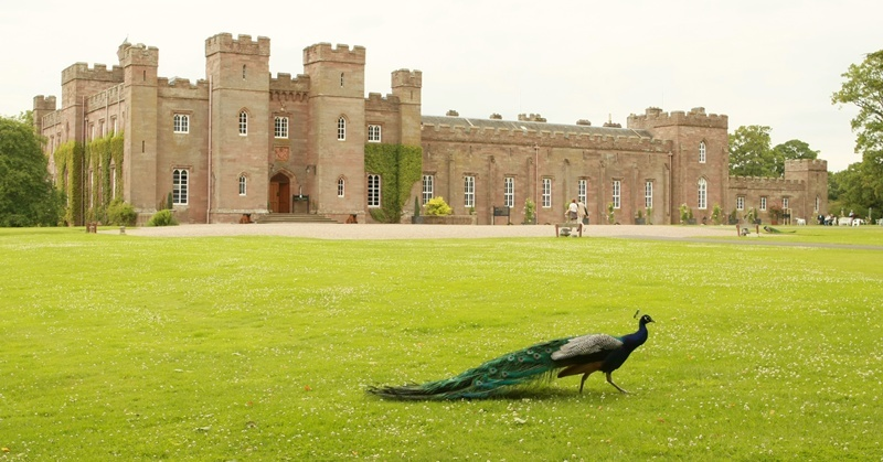 A peacock takes an afternoon leisurely stroll on the lawn in front of Scone Palace.