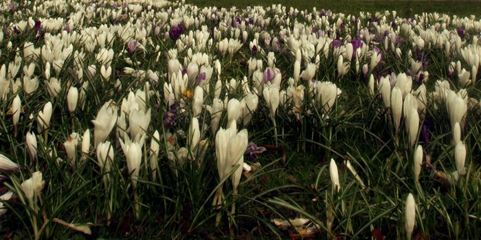 Colourful bed of crocus cover the ground on the South Inch opposite St Leonards-in-the-Field's Church, Perth.