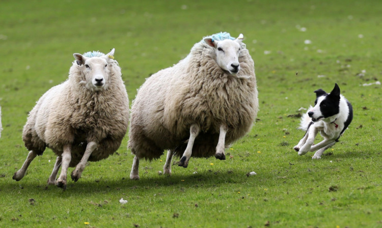 Police in Tayside said at least four separate incidents of sheep rustling have been reported across Perthshire over the last two months.