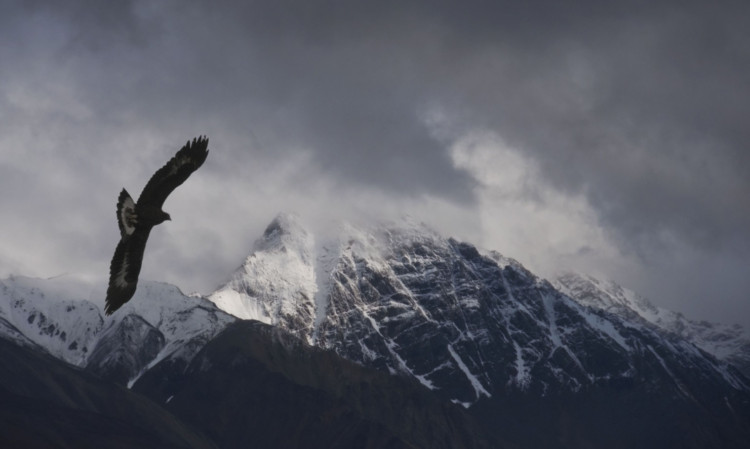 The majestic golden eagle.