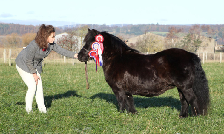 Shetland Pony Champion at the Winter Fair 2013 was Hedderwick Red Ribbon from W&P Robertson