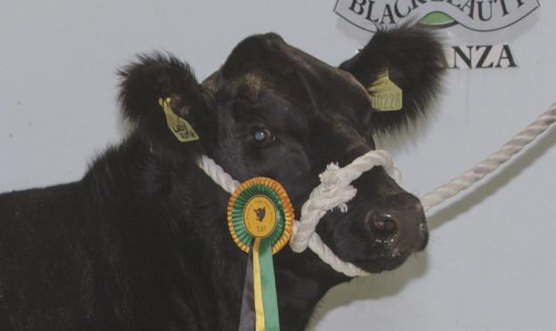 Heifer calf champion Retties Lady Ruth N228 from R&C Rettie, Aberdona Mains, Alloa