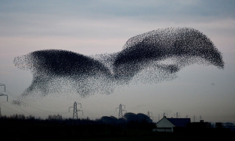 Starlings arriving in Rigg near the border.