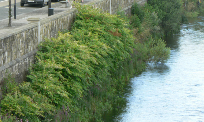 Japanese knotweed at Tay Street in Perth.