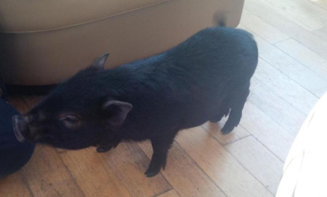Lucy the micropig in her new home.