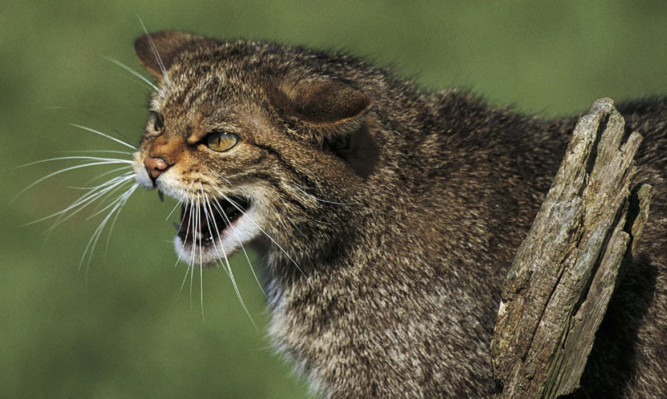 Wildcats have become extremely rare.