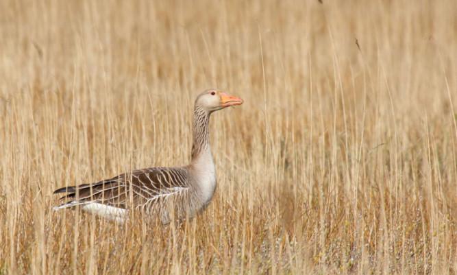 Greylag goose.