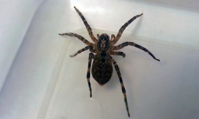 The spider found in Glenrothes.
