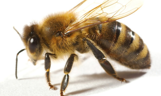 Vital bee colonies are being devastated by the insecticides used in plant pollen and nectar, according to scientists from Dundee and St Andrews universities.