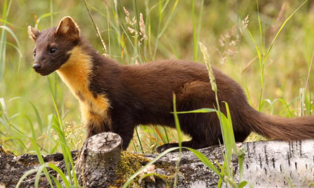 Pine martens could become a more regular sight in Scotland, according to a new study.