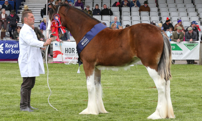 Collessie Jennifer, the overall Clydesdale champion from RH Black