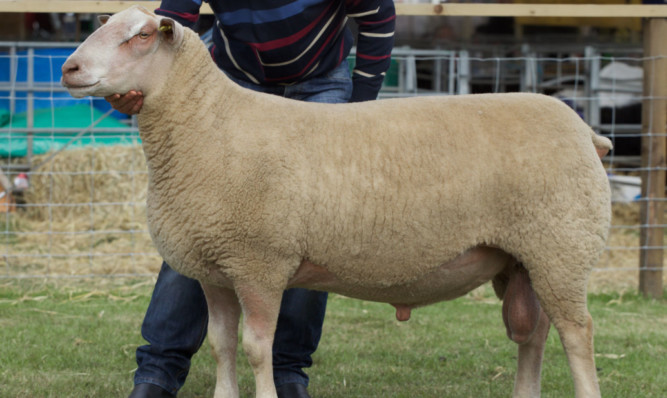 The Charollais and sheep interbreed champion from Russell Gray, Langside