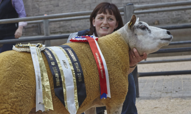 Interbreed sheep champion Pentland Pacific.