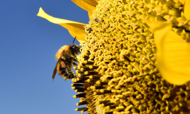 A bee gathers pollen from a sunflower in North Tyneside  as the warmer weather continues .....PA Photo Owen Humphreys