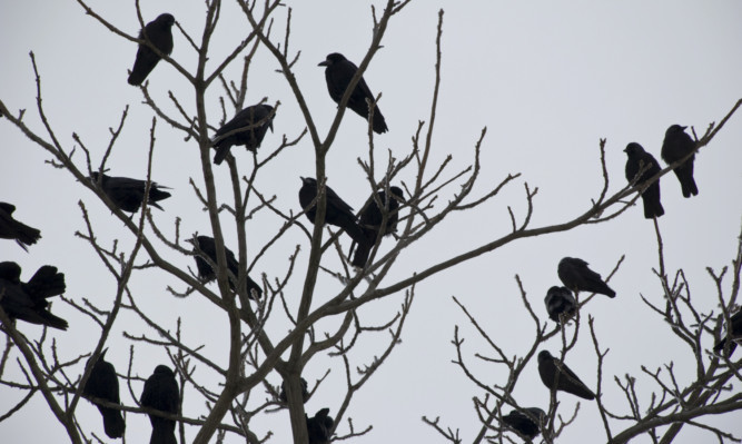 black crows on tree in winter