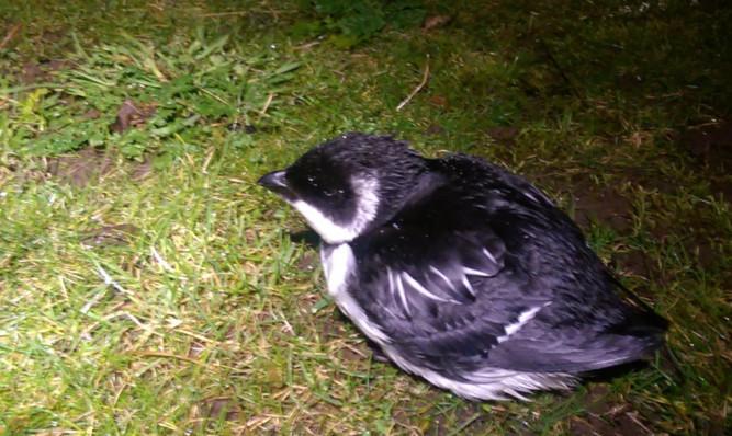 One of the auks made an unscheduled stop-off near Lunan Bay.