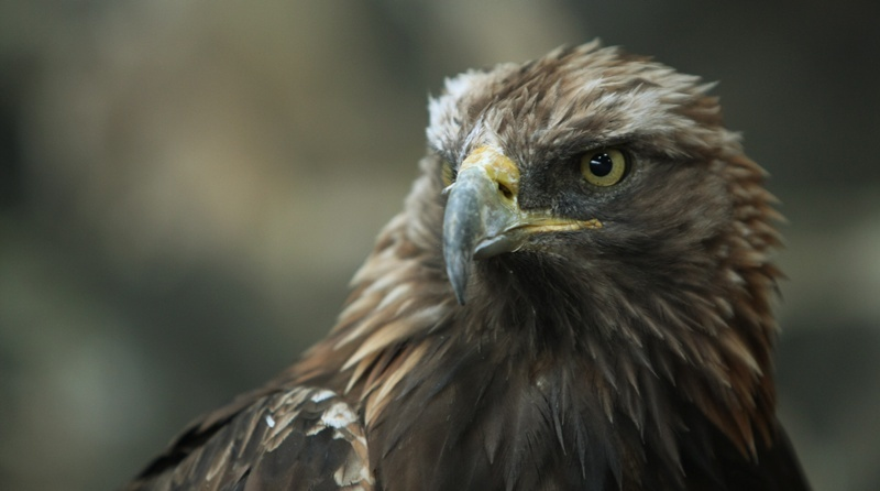 Elite Falconry at Cluny,  Methuselah the Golden Eagle.