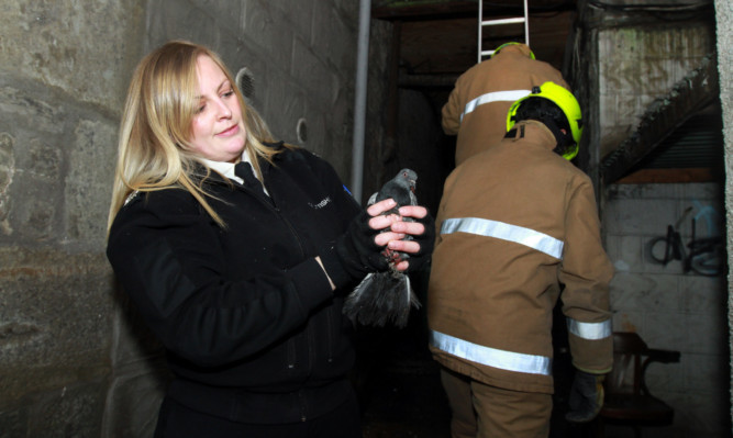 SSPCA animal rescue officer Stephanie Alexander rescues a Dundee pigeon.