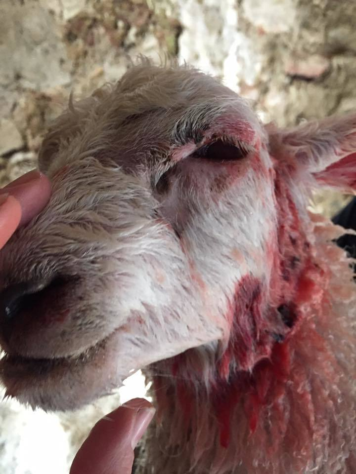 The young lamb survived the attack at Errol.