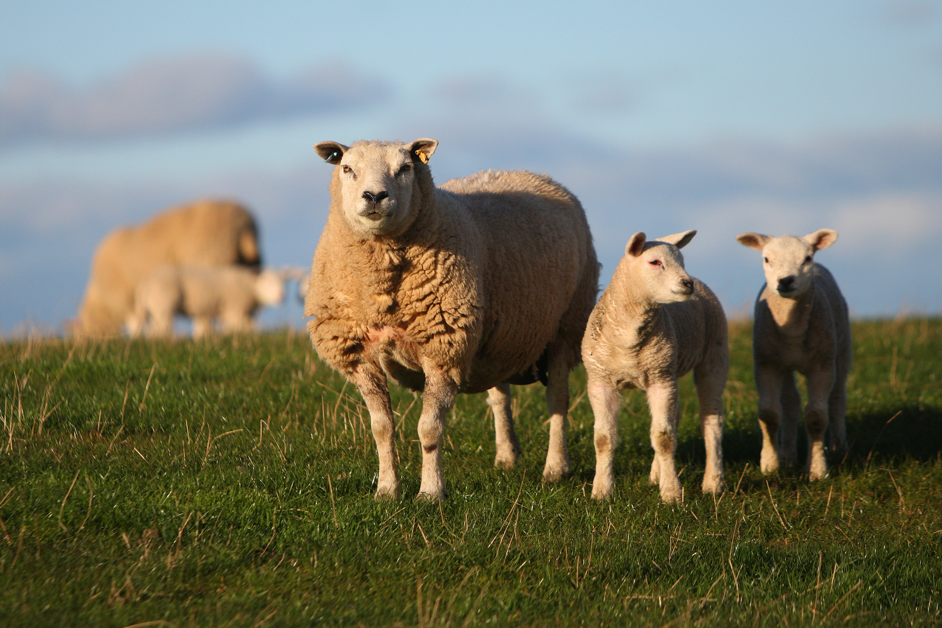 Official sheep worrying statistics don't reflect the scale of the problem.