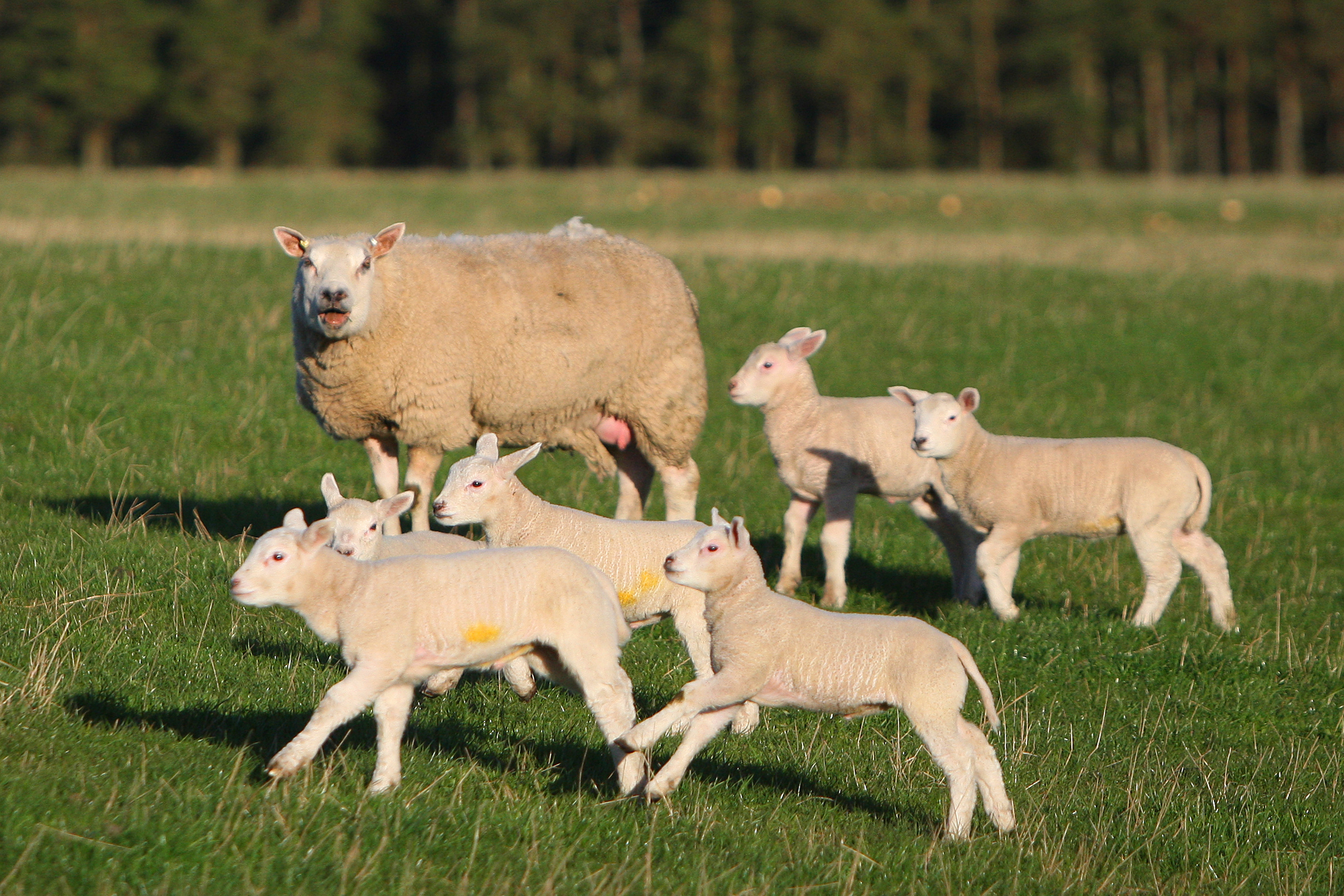 New season lamb prices are 7-8% higher than last year