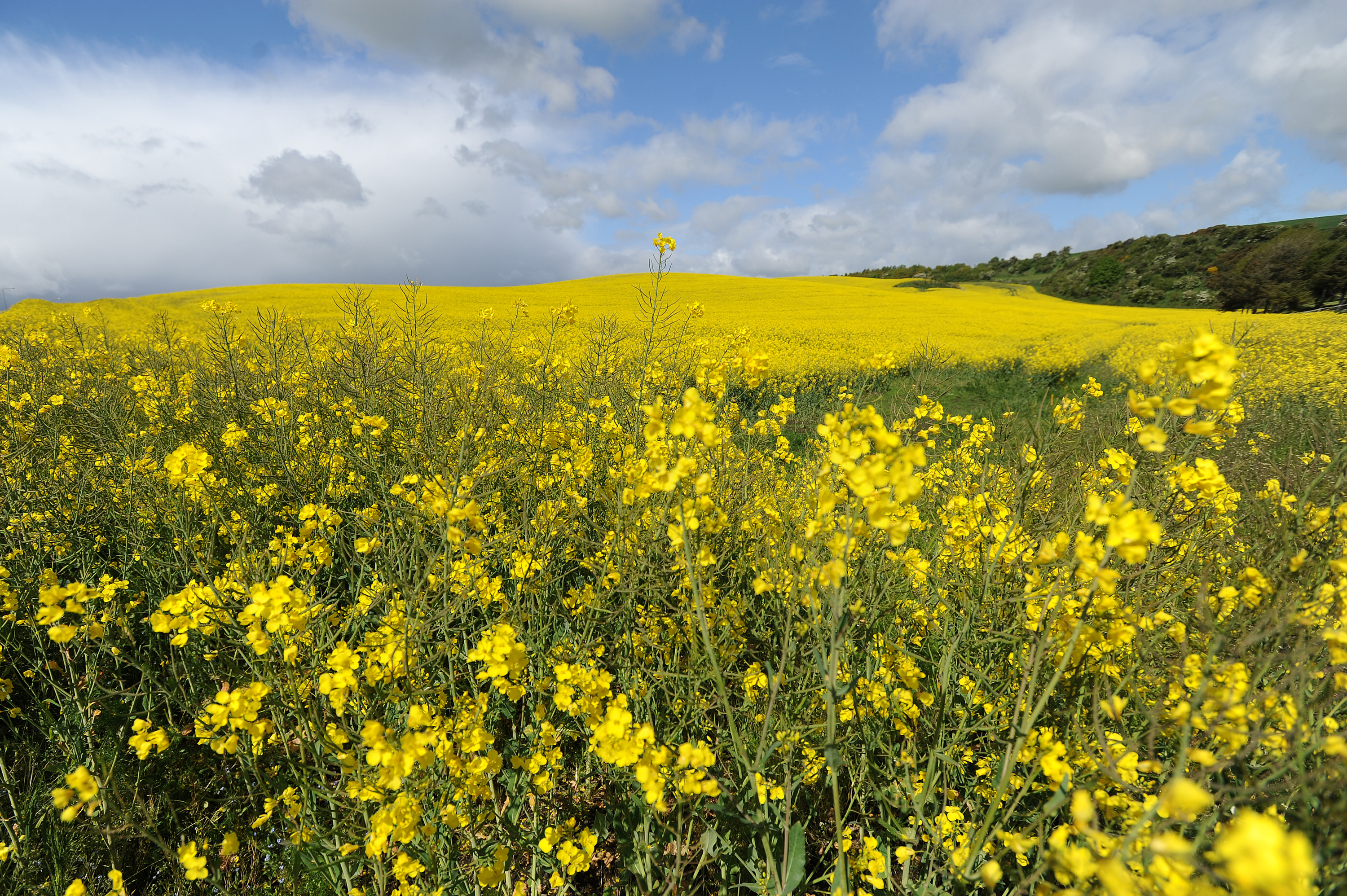 NFU is committed to campaigning for emergency use of neonicotinoid