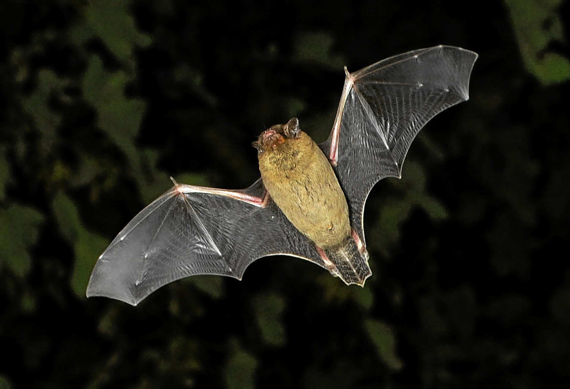Locals will have the chance to see bats like this at the event.