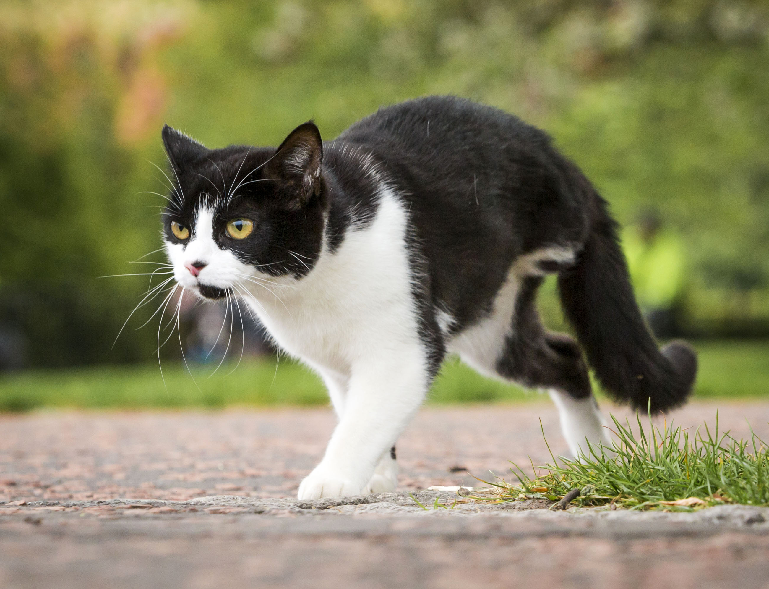 Fizz the cat is one example of an animal suffering cruelty, losing a limb after being shot  with an airgun.