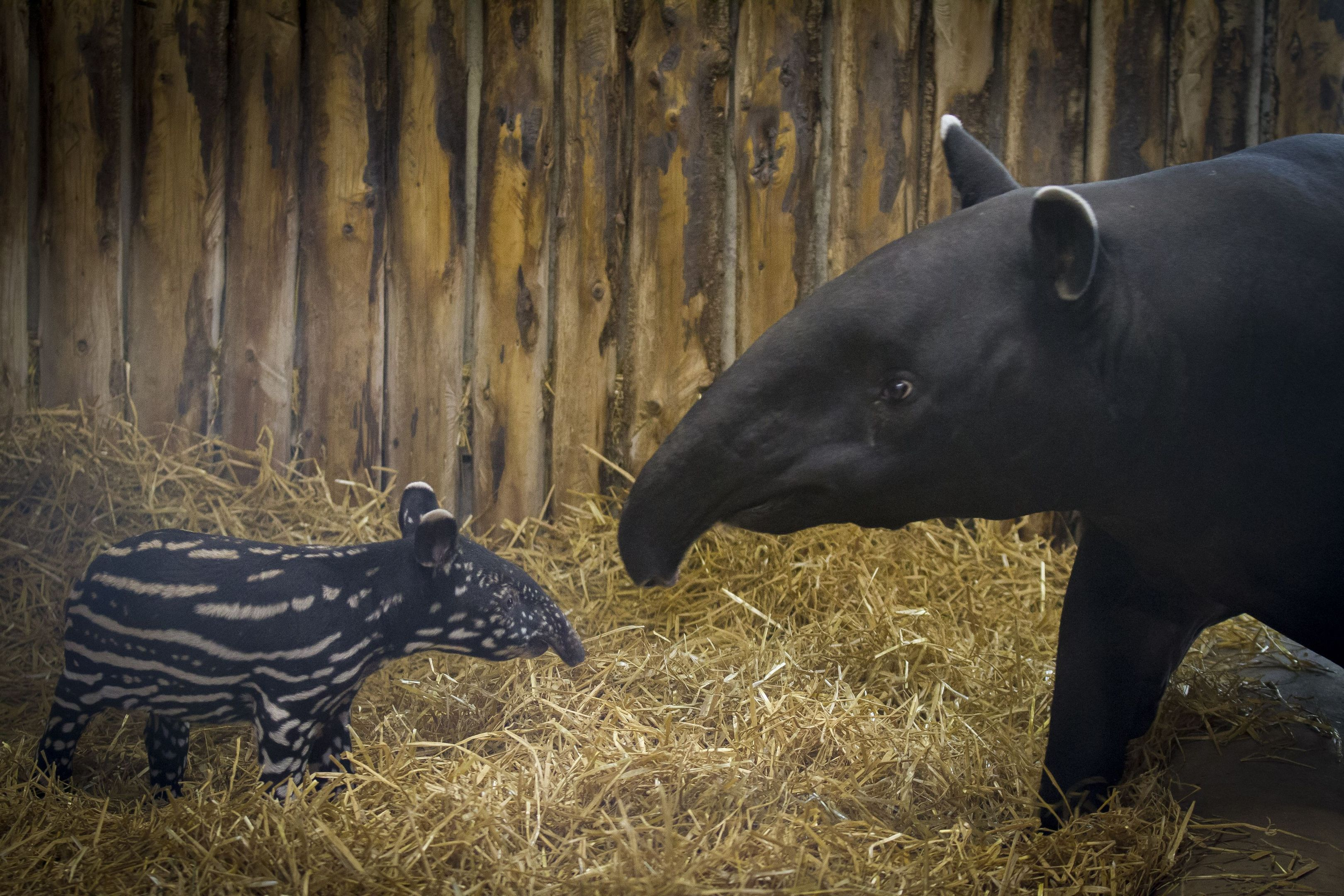 The male calf was born on Thursday May 19 and keepers said he will help the fight to save his species from extinction.
