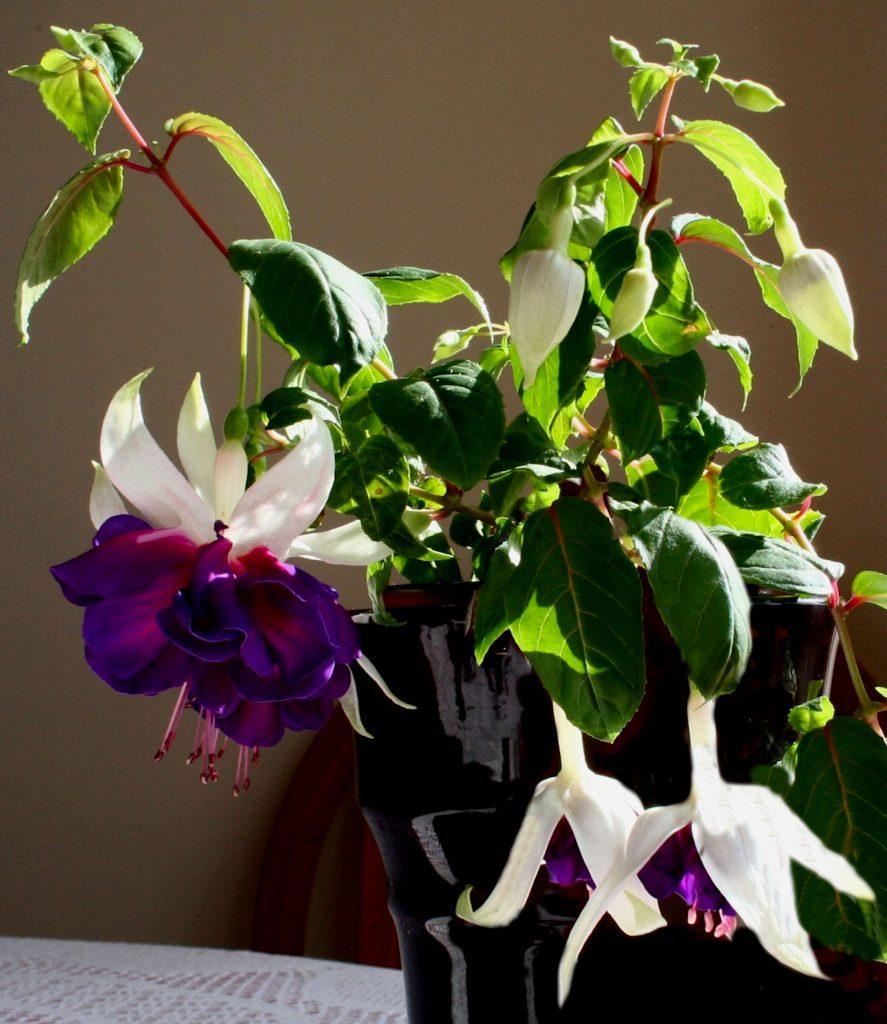 Fuchsia Southern Belle