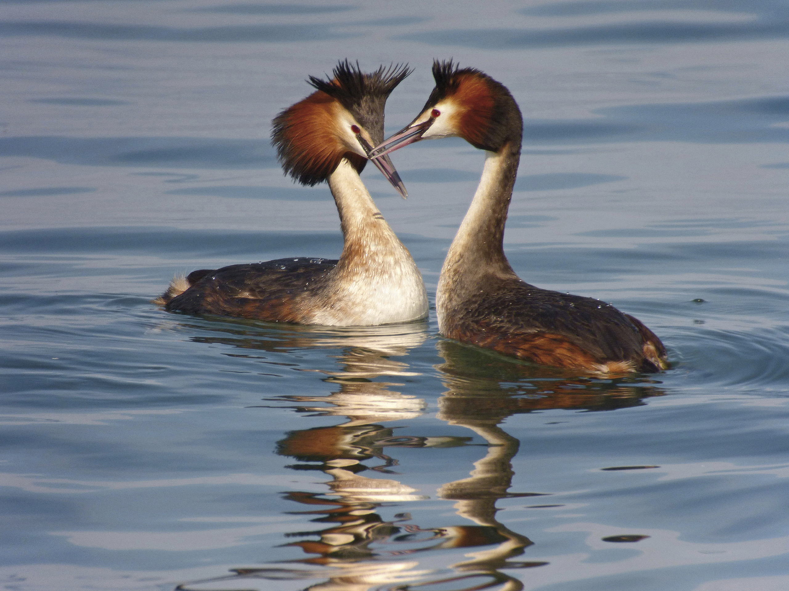 Great crested Grebes.