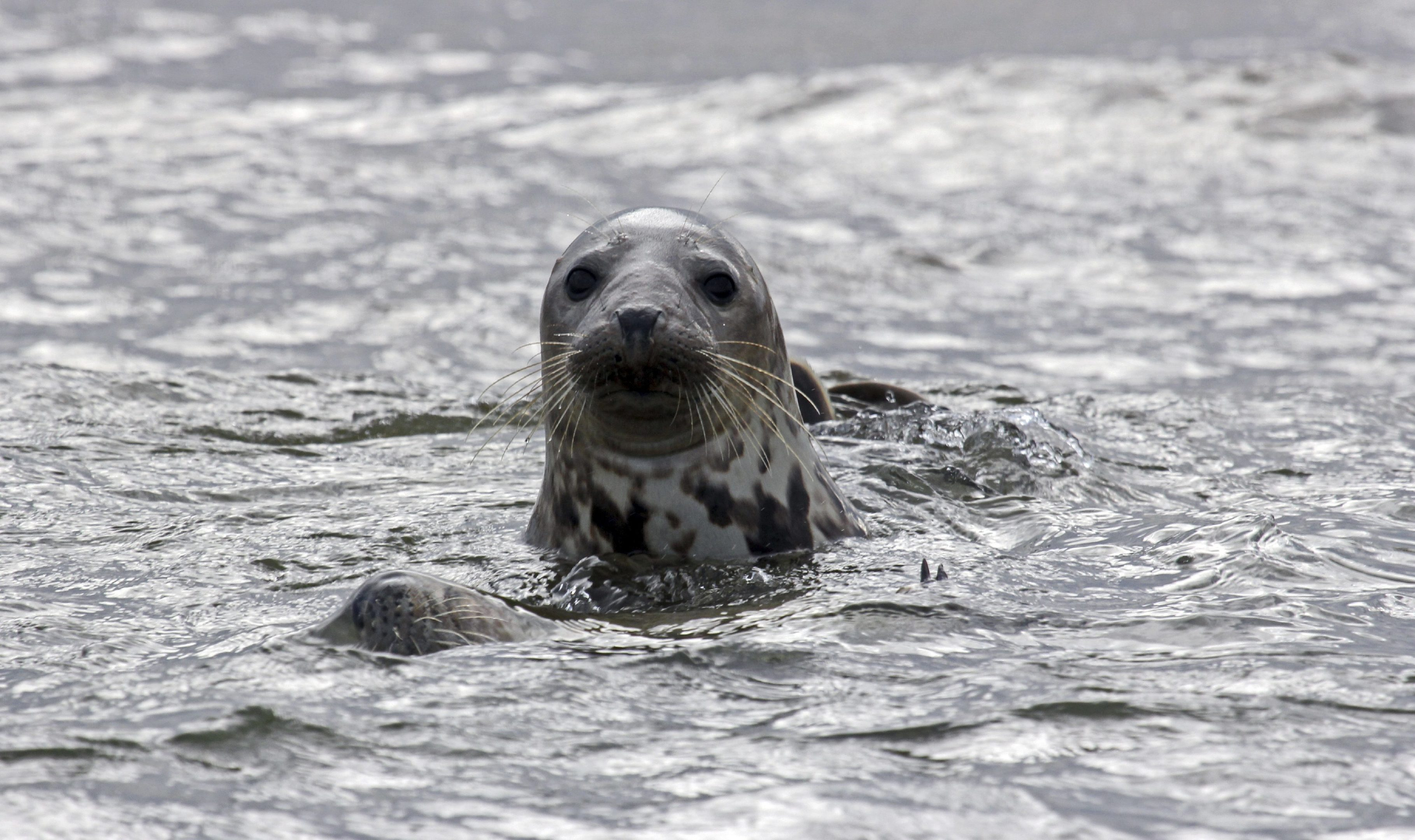 Should seals be culled?