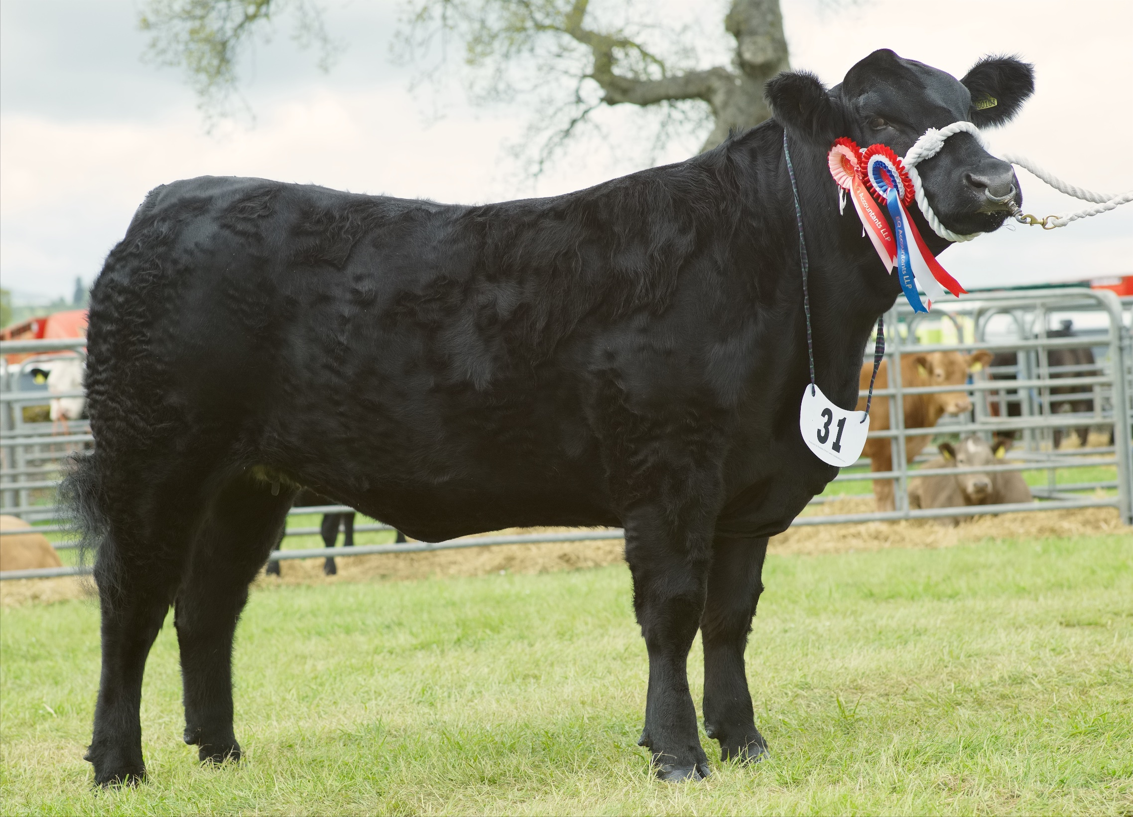 The supreme interbreed champion at Fife Show was the Aberdeen Angus champion