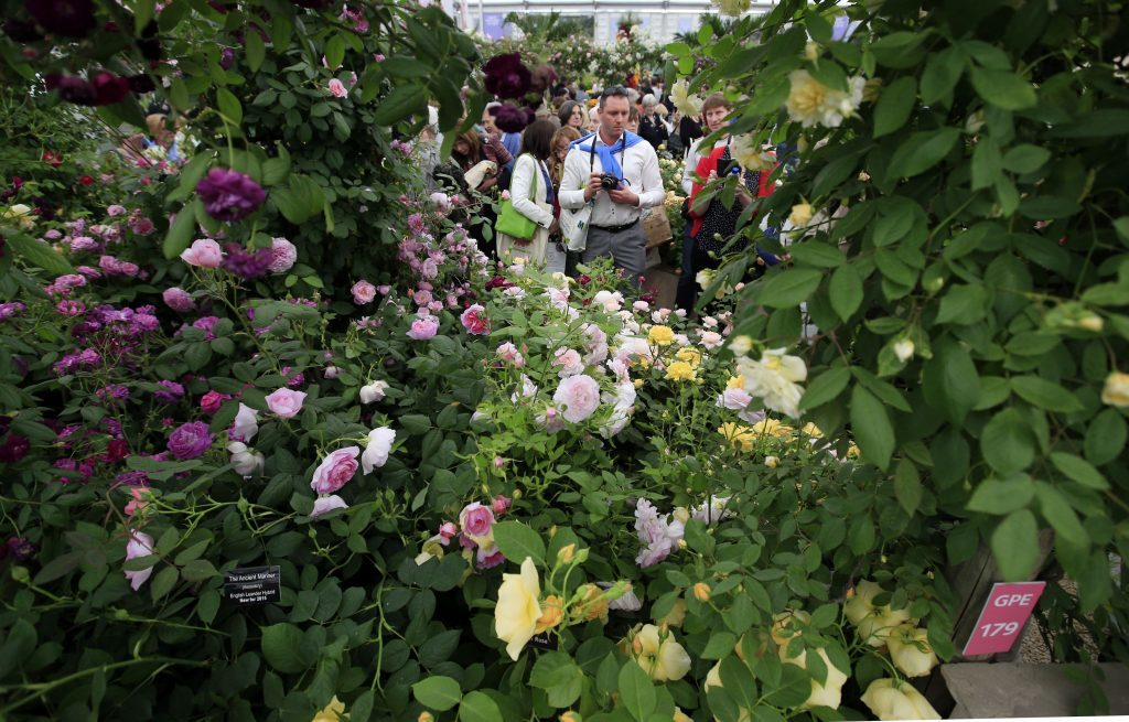 Visitors look at English roses on the display of David Austin Roses, which has been recognised with a gold award in the Great Pavilion awards at the 2016 RHS Chelsea Flower Show.
