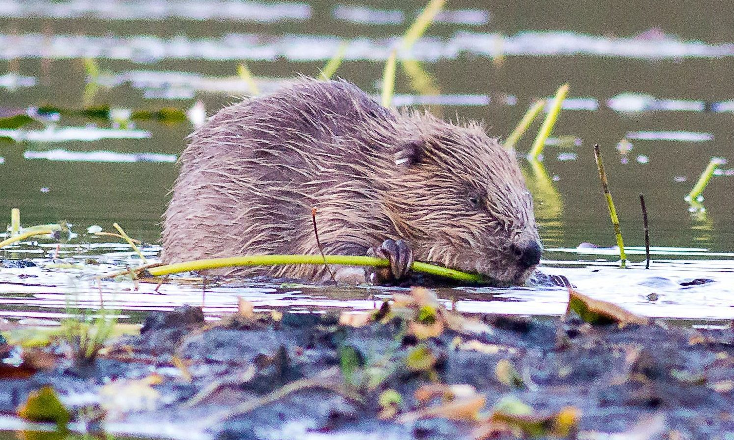 Beavers are to get protected status as eleventh-hour bid to block the new law fails.