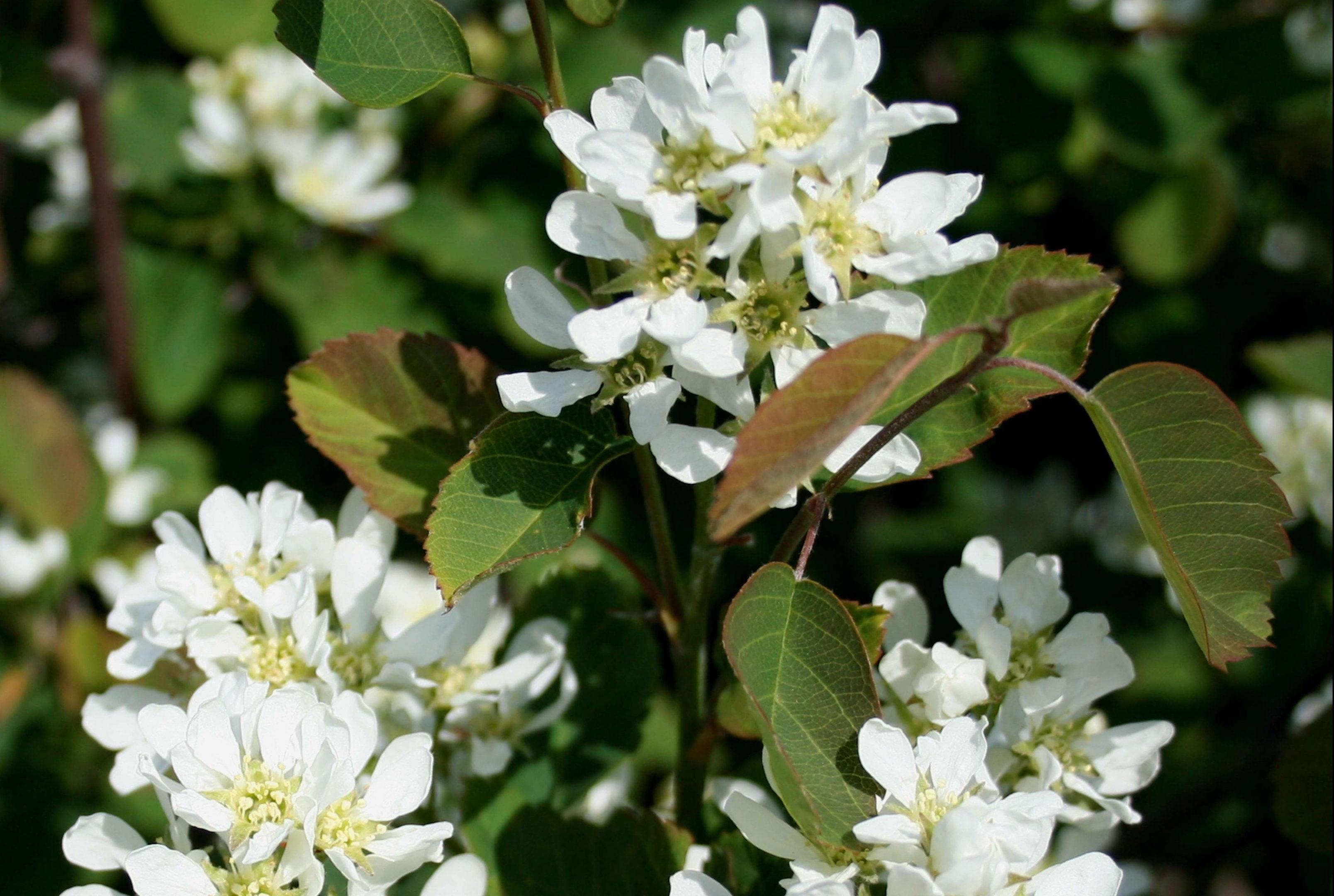 Saskatoons blossom