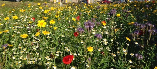 Wildflower meadows are in decline