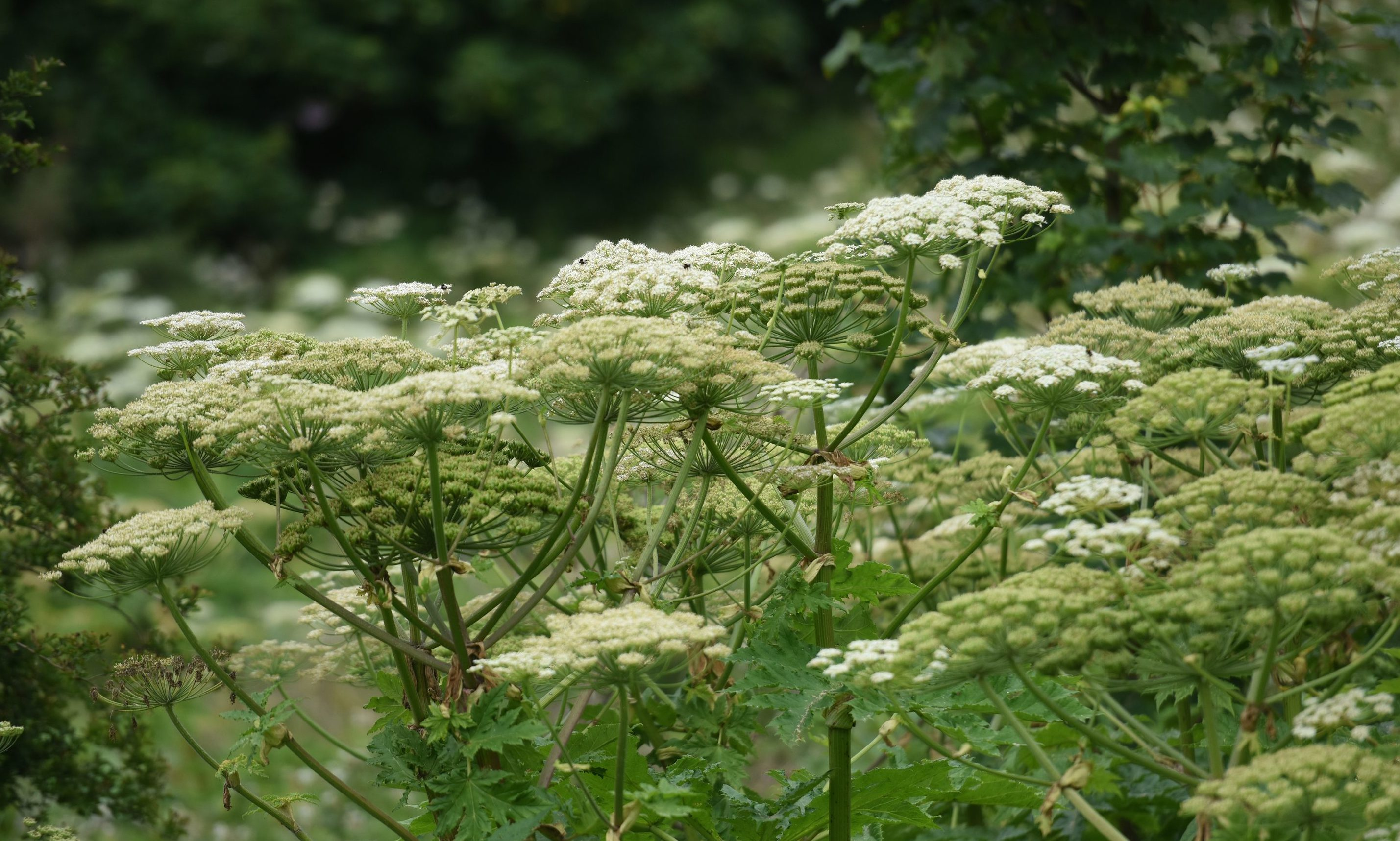 Poisonous Giant Hogweed plants are among a wave of invasive species said to be growing at an alarming rate throughout the region.