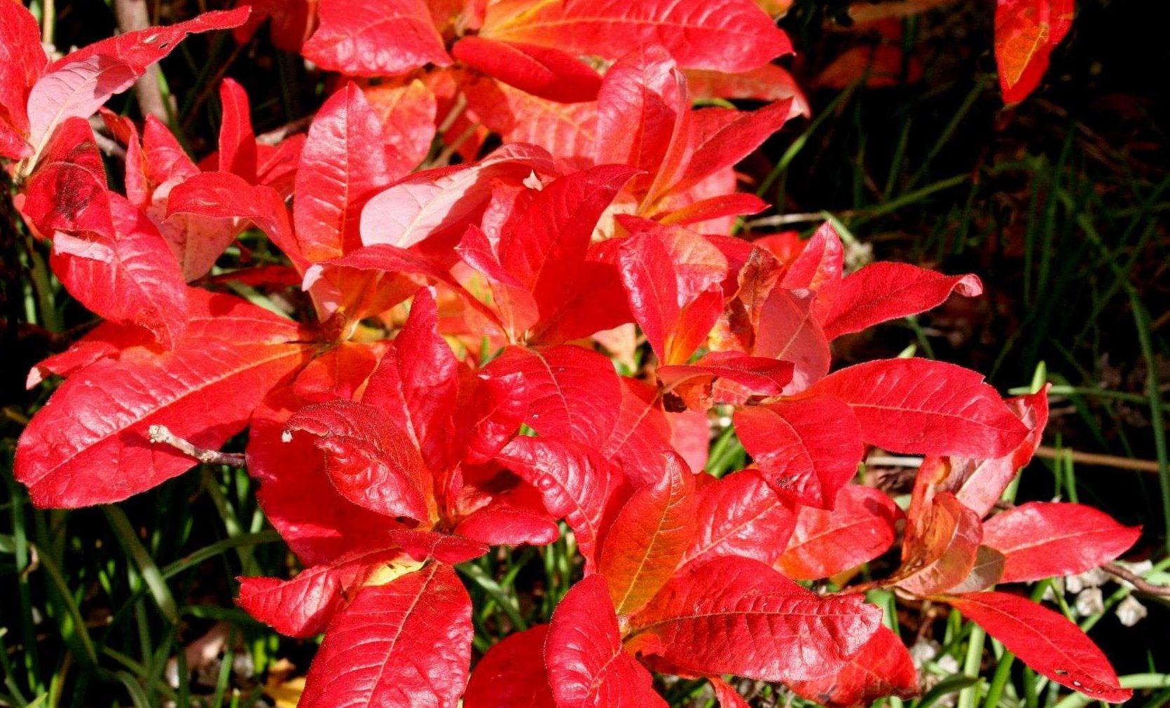 Azalea in autumn but toxic by nature