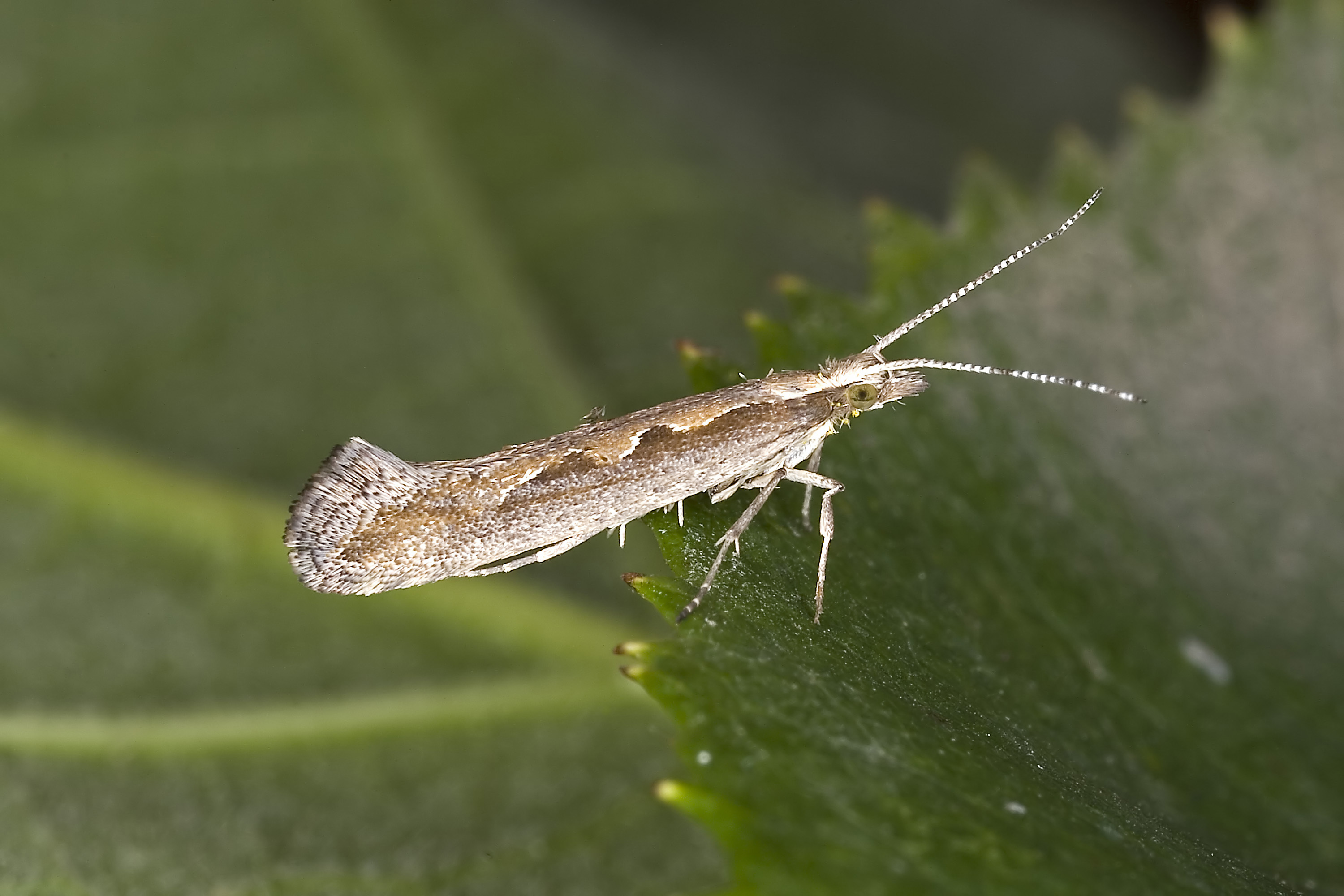 The pest has already been detected in high numbers in Fife and East Lothian.