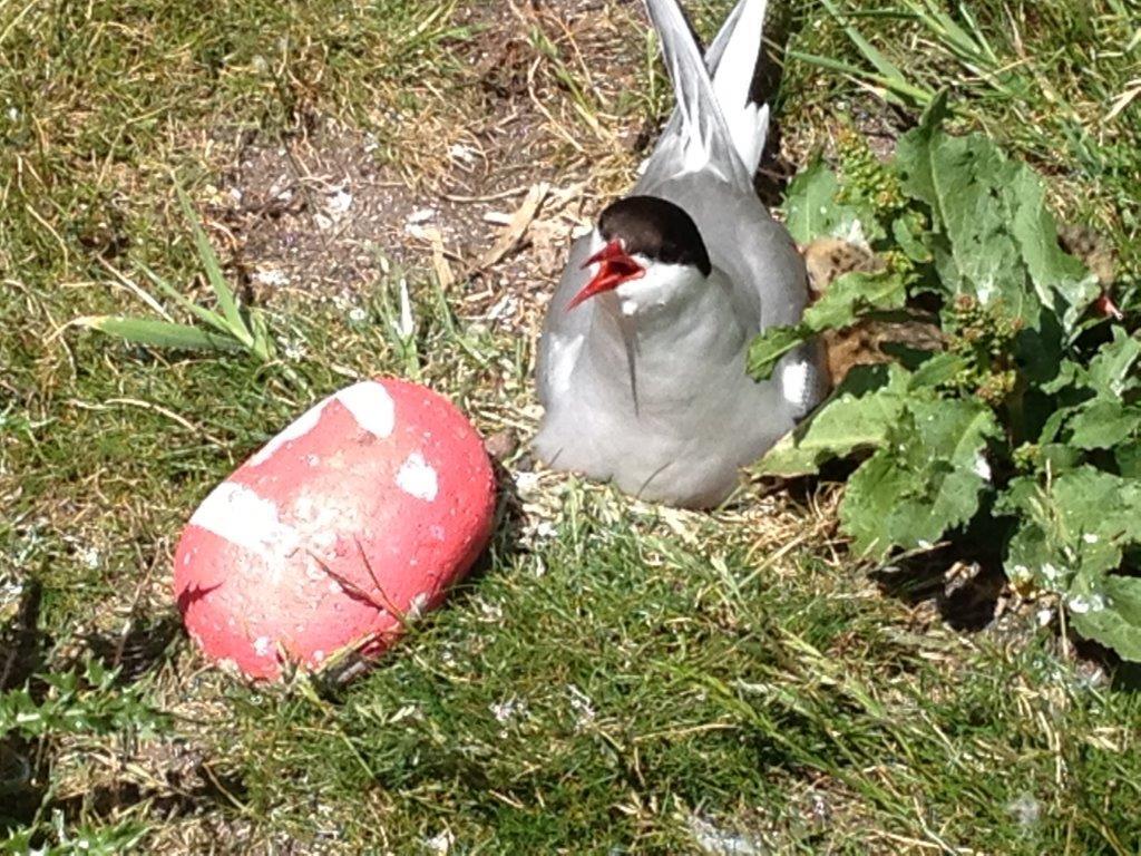 An arctic tern on its nest