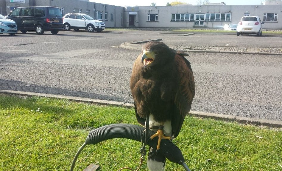 Hawk was used at Perth Grammar School to control seagull problem.