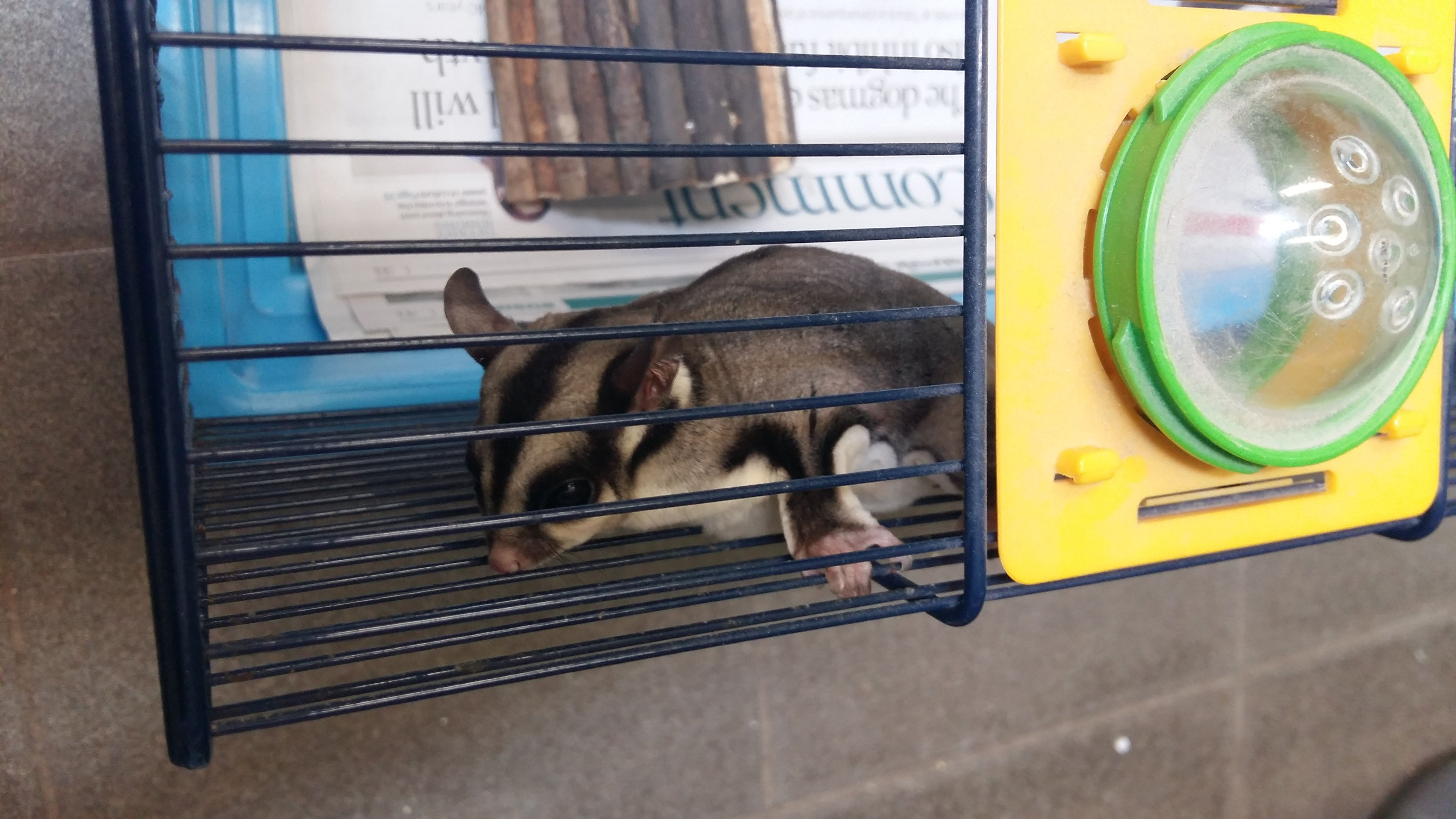 The sugar glider possum is currently at the Scottish SPCA centre in Balerno.