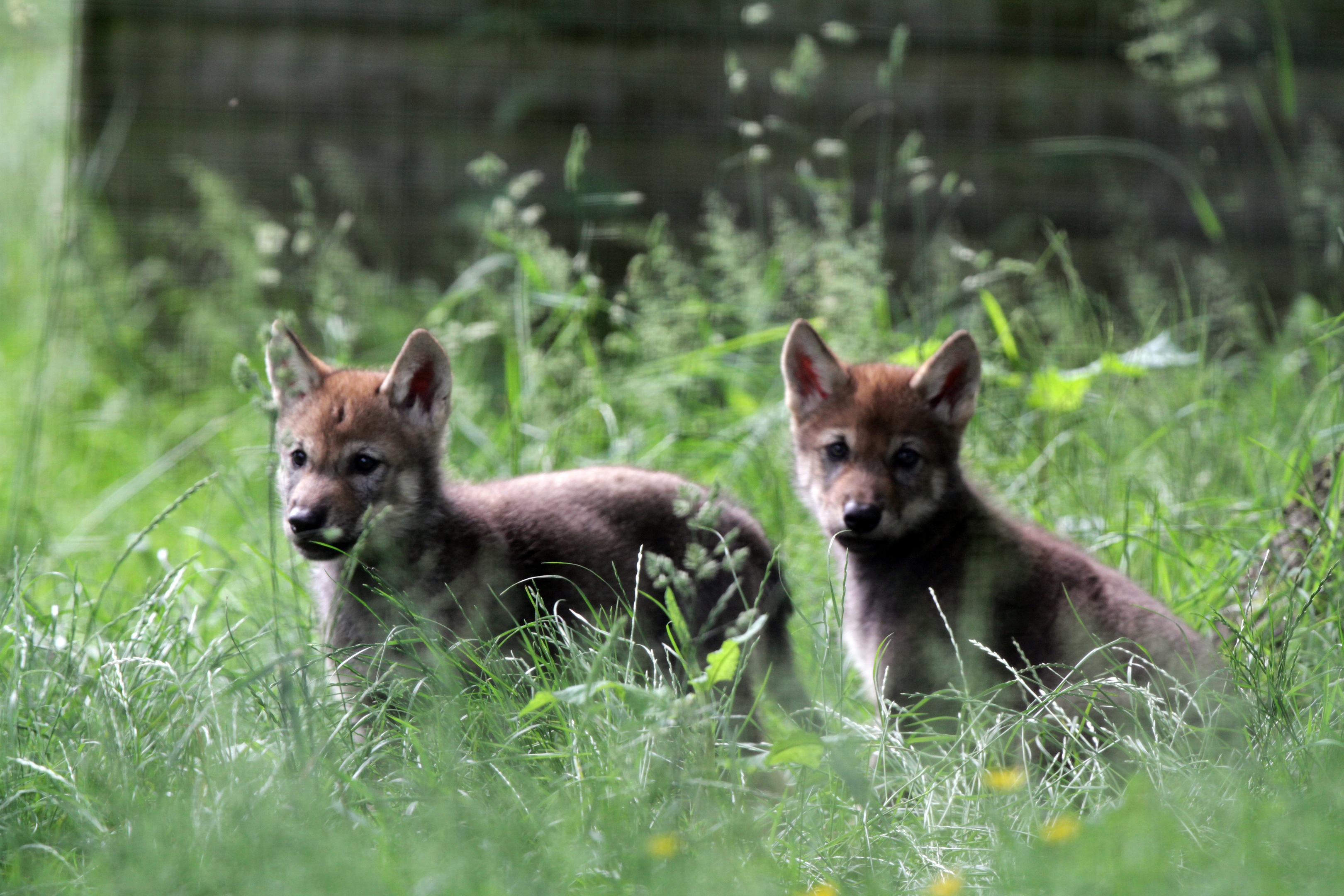The wolf cubs in the enclosure