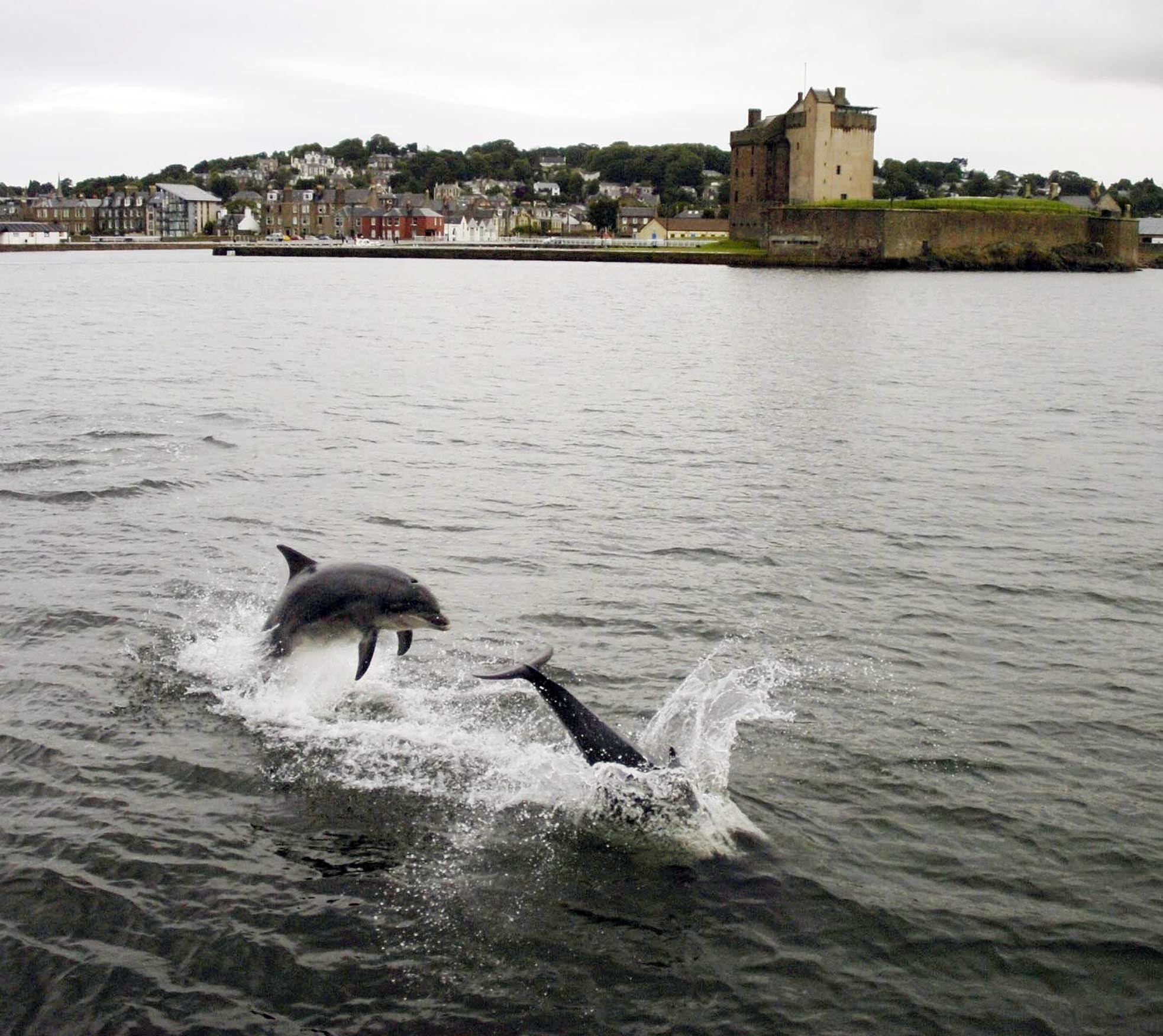 Dolphins in the Tay off Broughty Ferry Castle.