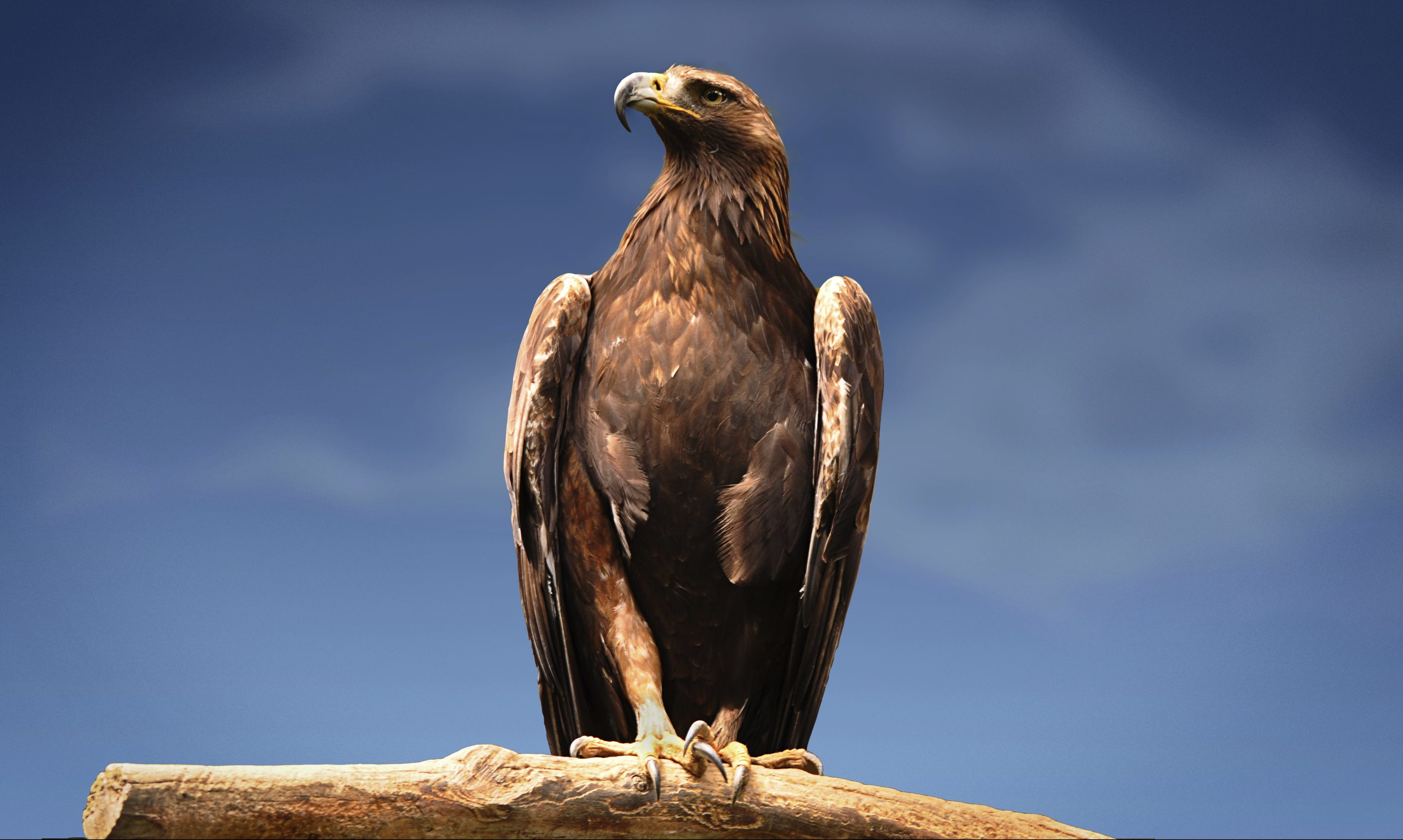 A golden eagle.