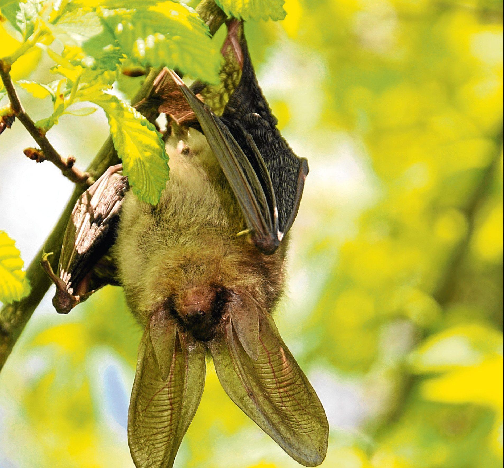 A pipistrelle bat
