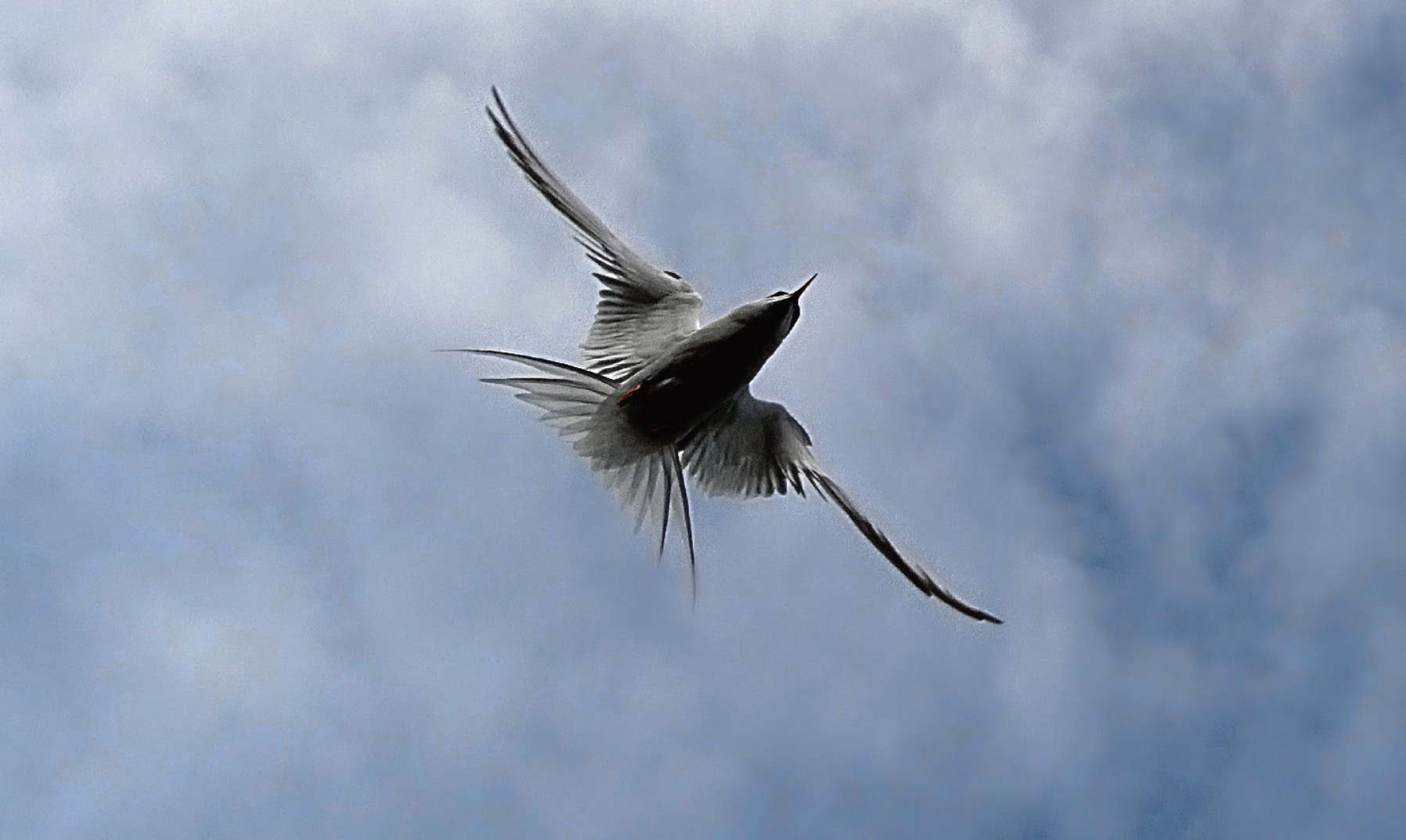 An Arctic tern on the Isle of May in full attack mode.
