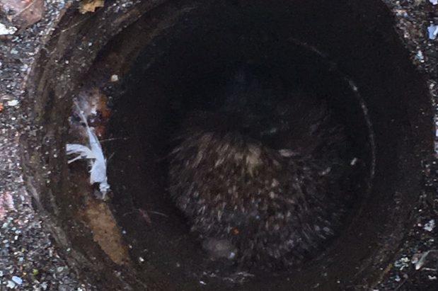 The hedgehog had fallen down a drian hole at Wardykes Primary School, Arbroath